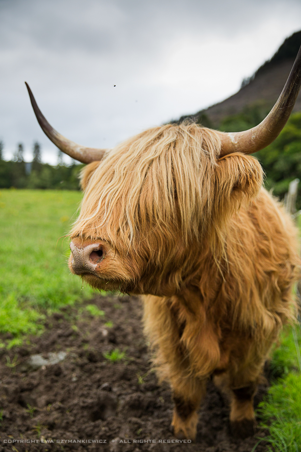 Scottish_highland_cow