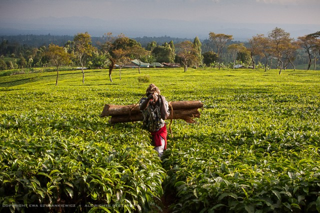 Kenya Tea Field