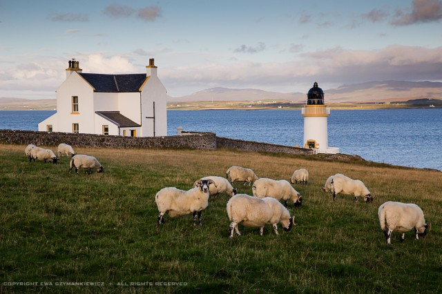 Sheep near Port Charlotte, Islay, Scotland