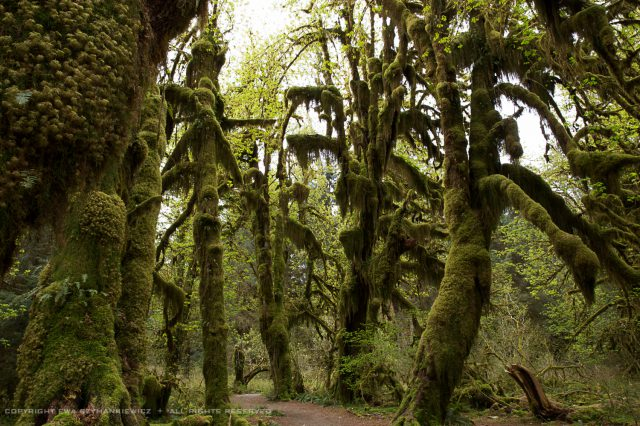 Hoh Rain Forest, Olympic Natiional Park